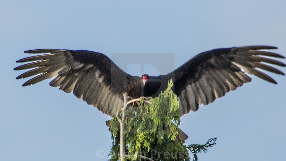 """The King Of The Vultures"" stock image"