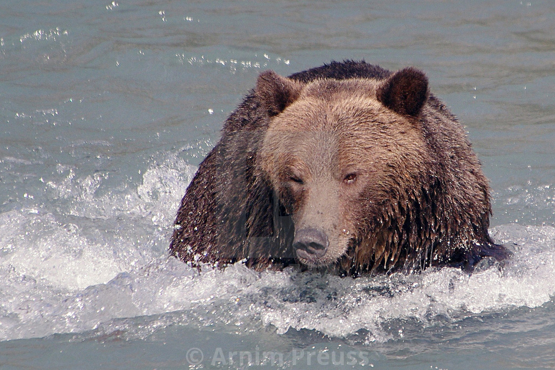 """""""Grizzly"""" stock image"""