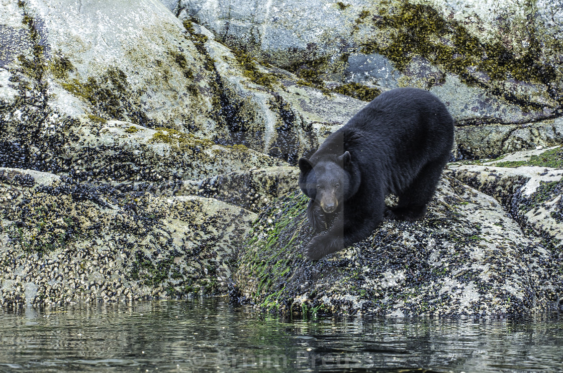 """Coastal Black Bear"" stock image"