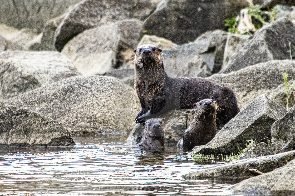 """River Otter"" stock image"