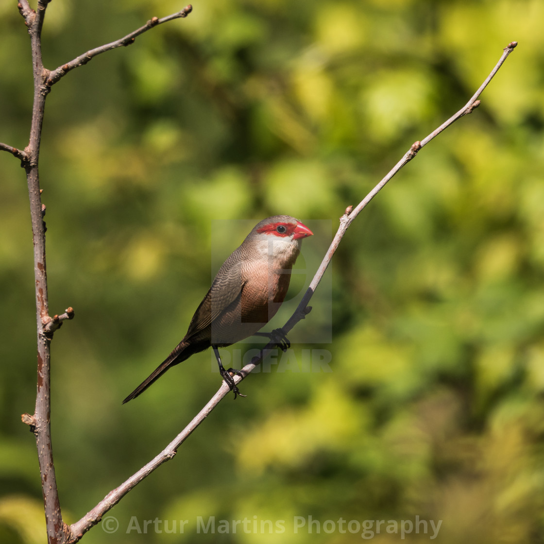 """""""A curious waxbill"""" stock image"""