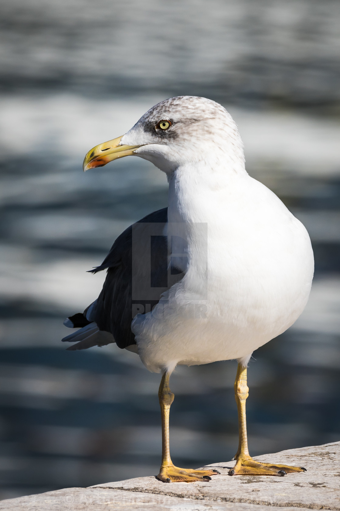 """""""Seagull standing on a pier"""" stock image"""