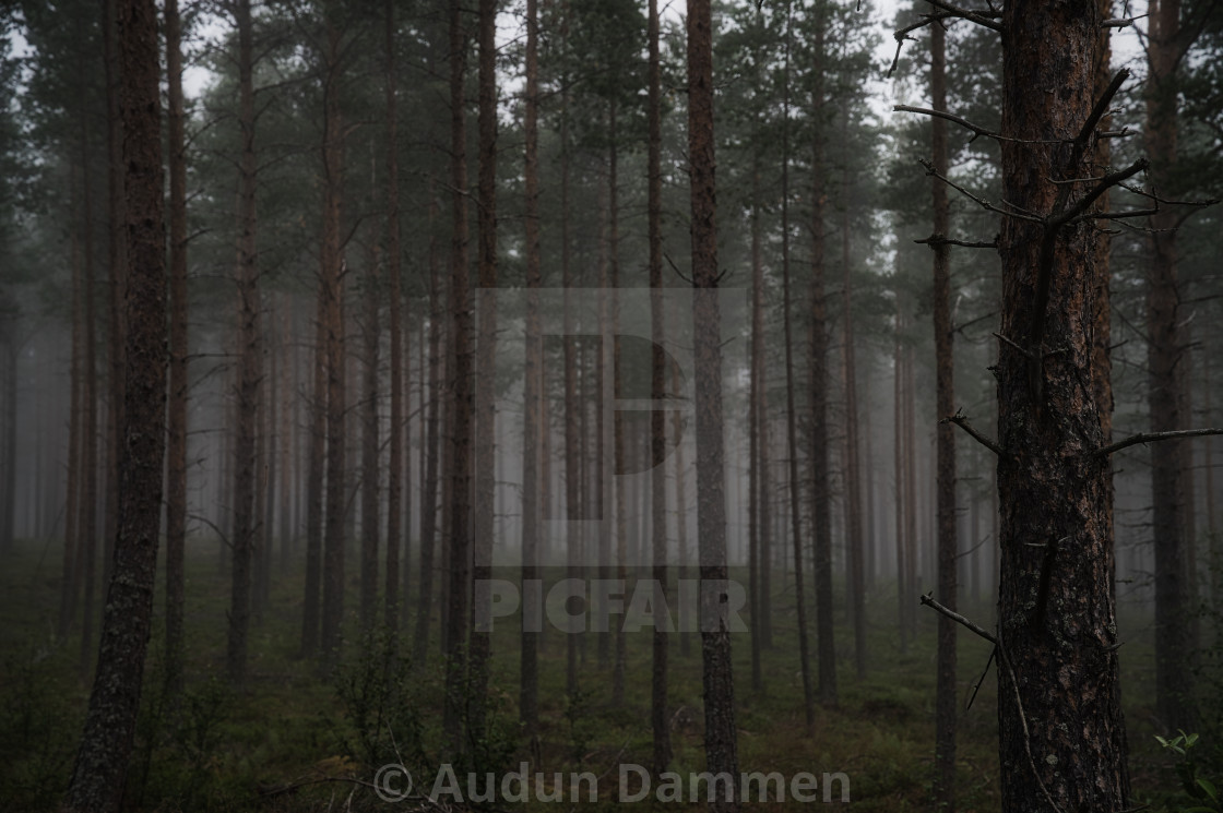 """""""Foggy forest"""" stock image"""