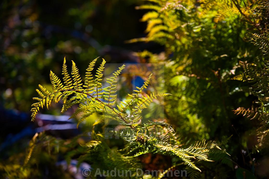 """Ferns in sunlight"" stock image"