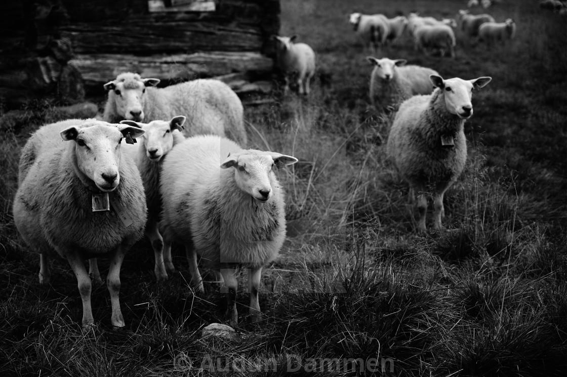 """Multiple sheep"" stock image"