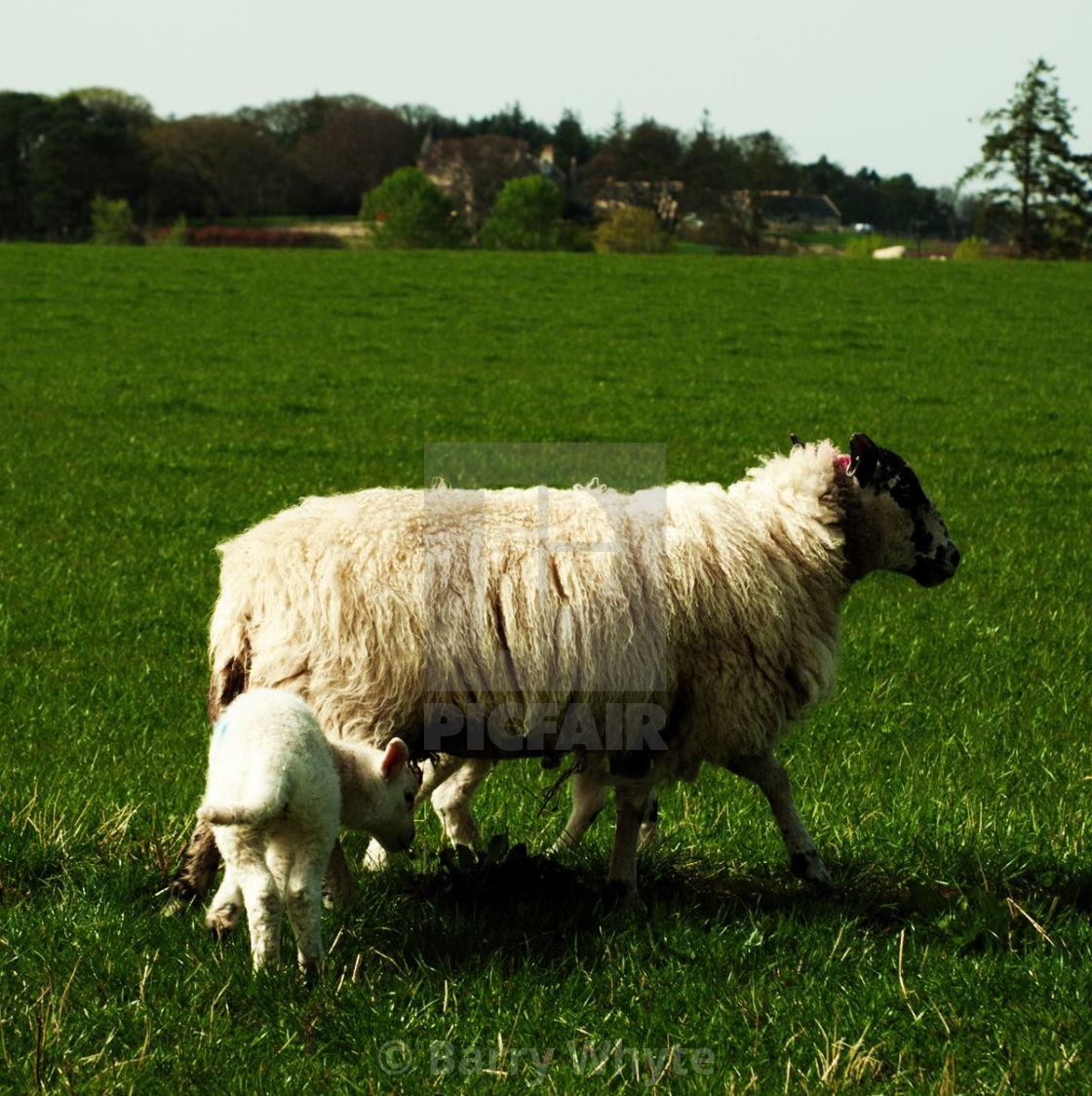 """Ewe & Lamb"" stock image"
