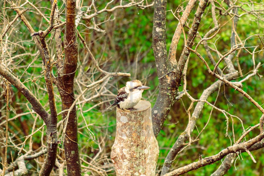 """""""Kookaburra on a tree"""" stock image"""