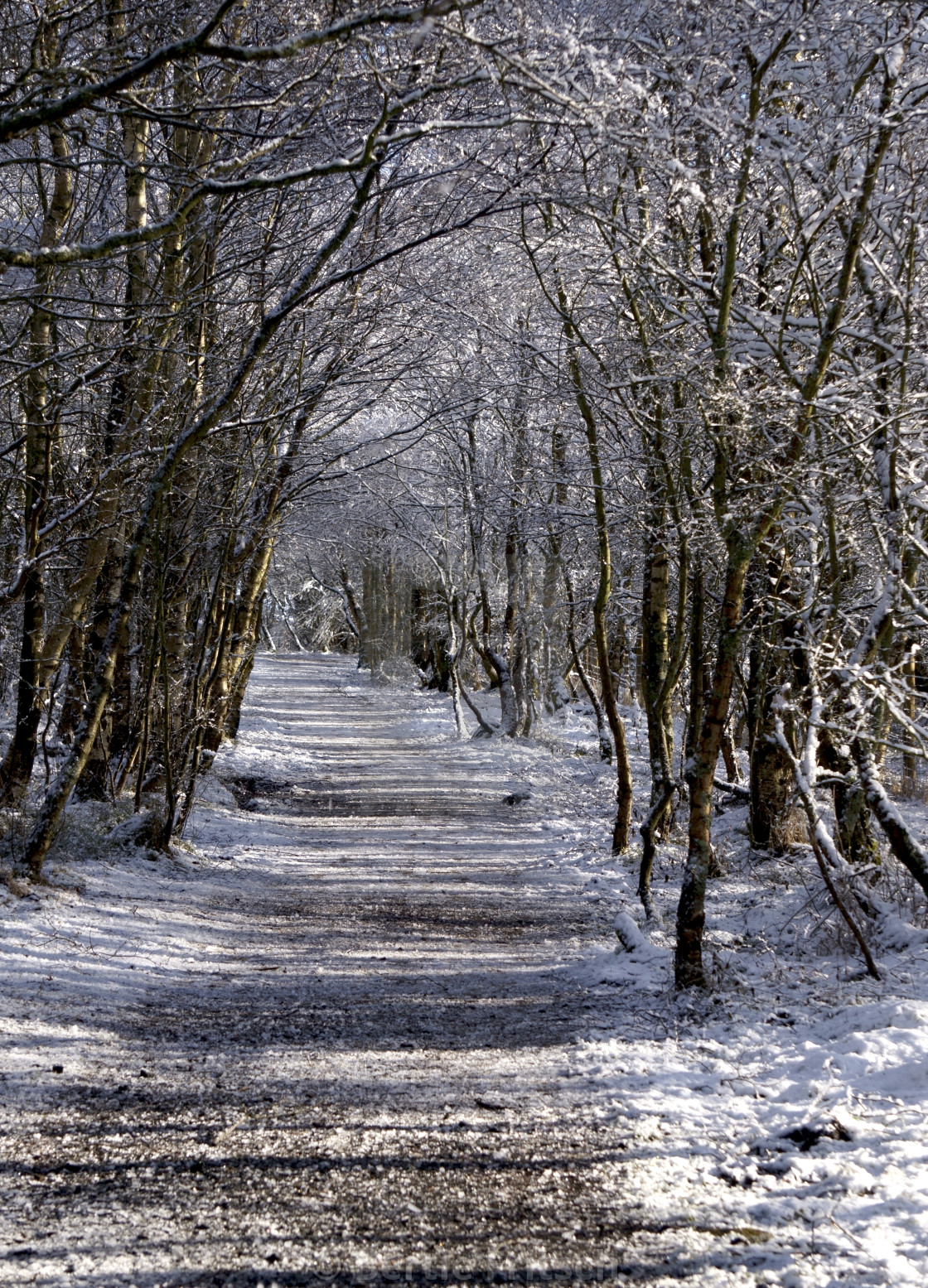 """Snow Path through trees"" stock image"