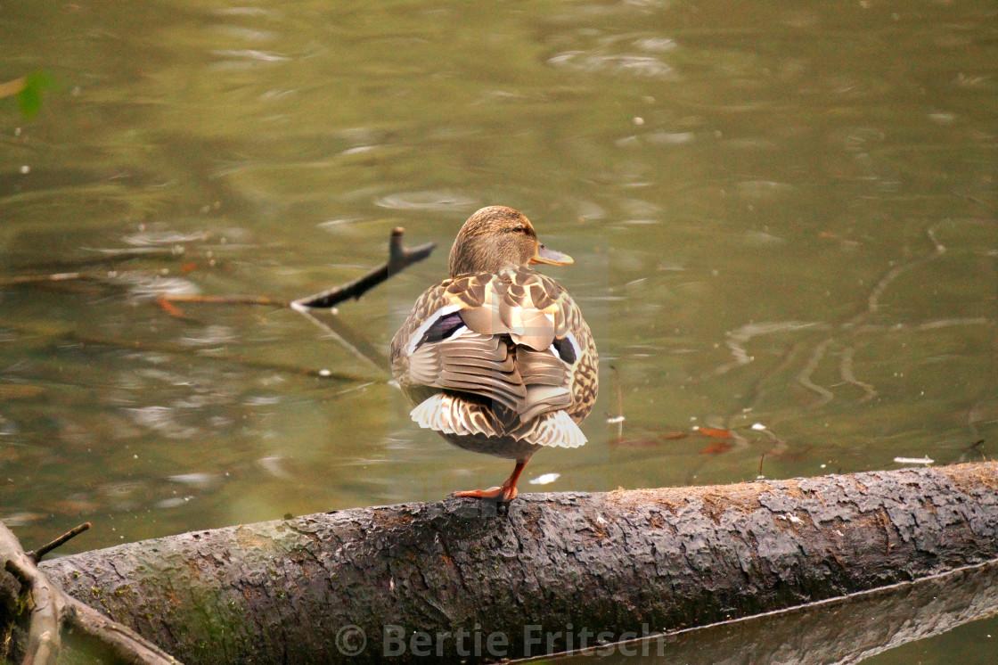 """""""Cape Coop Duck Wildlife"""" stock image"""