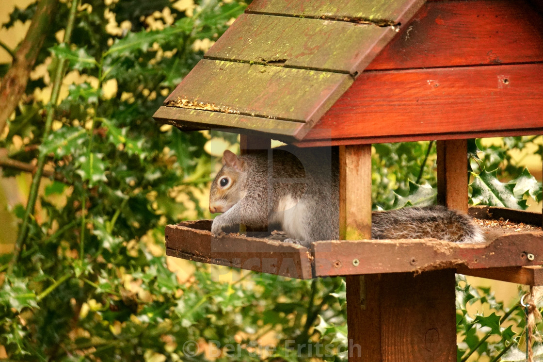 """""""Grey Squirrel Lunch Time"""" stock image"""