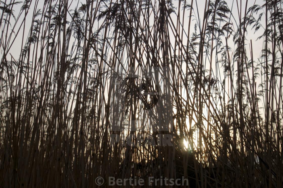 """Grass Silhouette"" stock image"