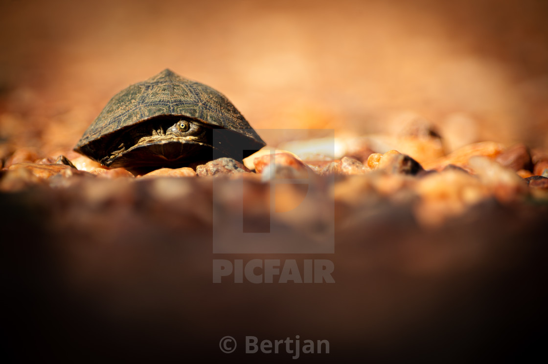 """""""Terrapin looking out"""" stock image"""