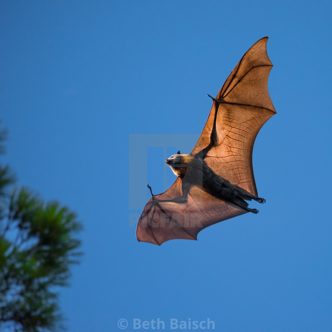 """Grey-headed Flying Fox Catching Sun"" stock image"