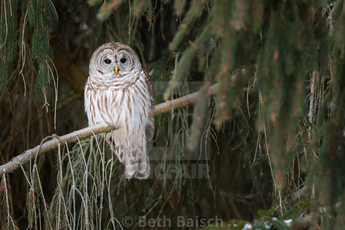 """Barred Owl Perched in Pine Tree"" stock image"