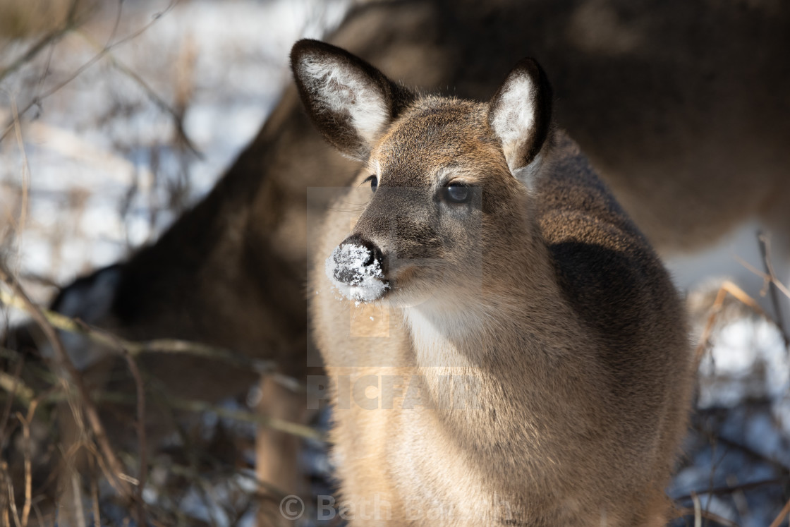 """Young White-tailed Deer with Snow on Nose"" stock image"
