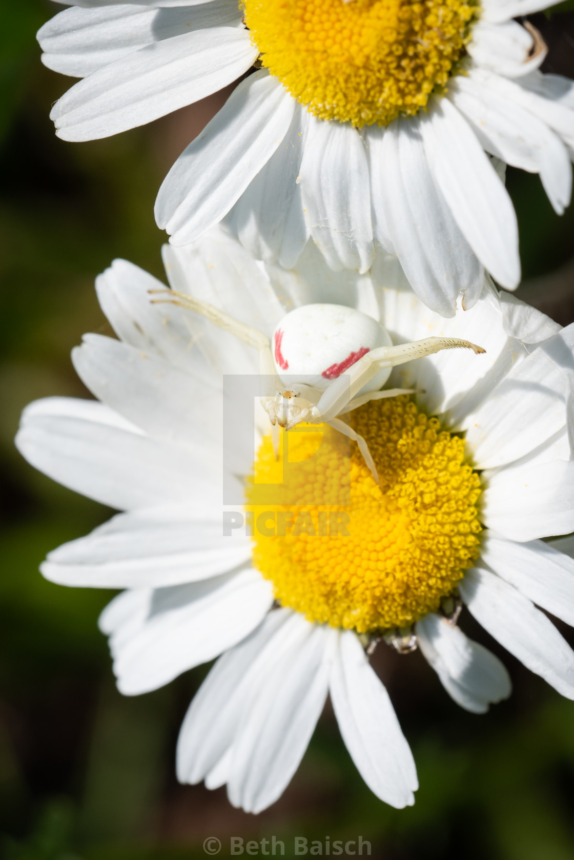 """Goldenrod Crab Spider on Oxeye Daisy"" stock image"