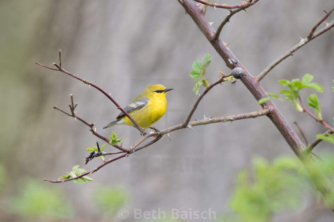 """Blue-winged Warbler Perching on Rose Bush"" stock image"