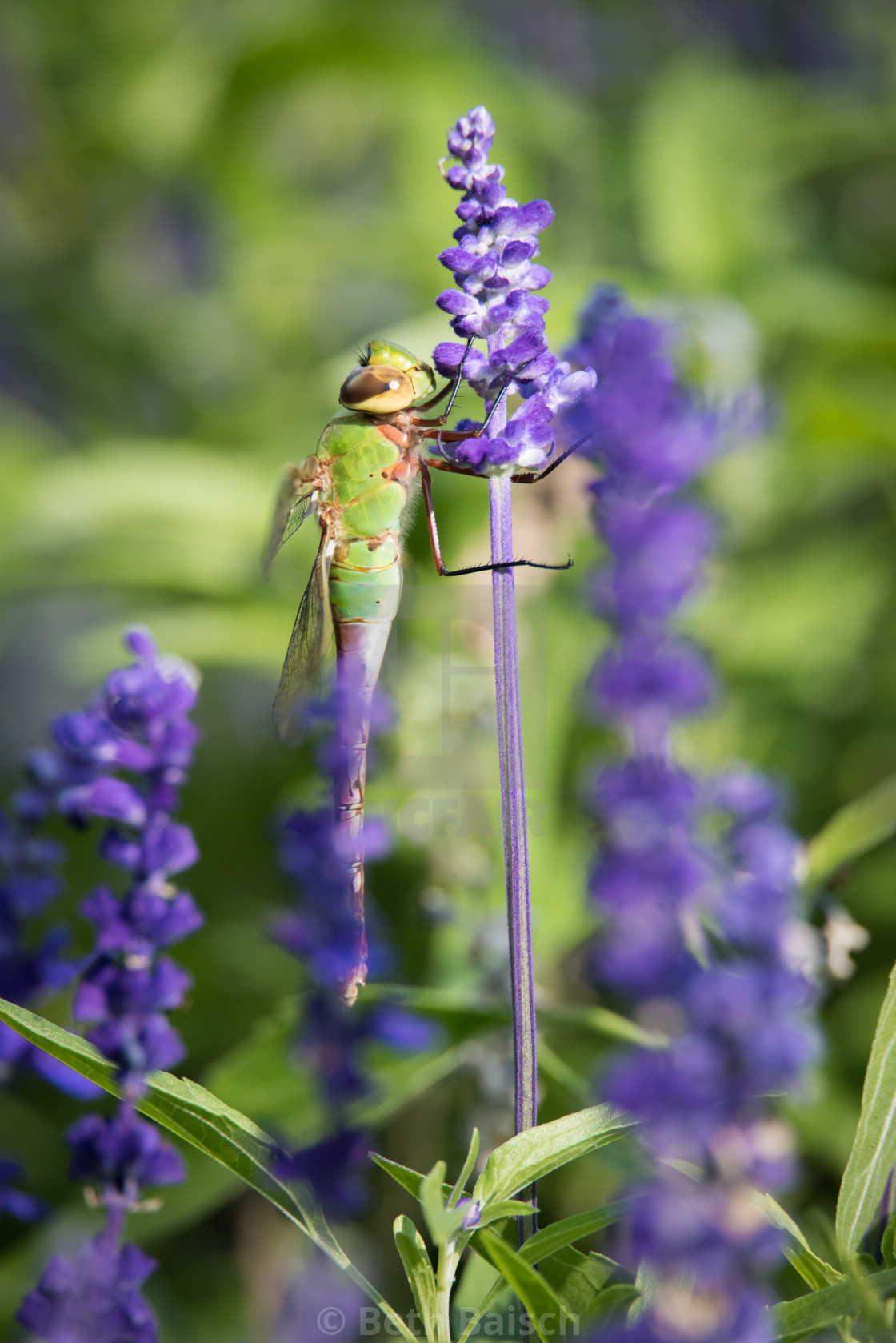 """Common Green Darner Dragonfly Perched on Lavender Flowers"" stock image"