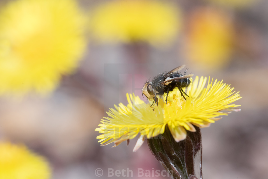 """Fly (genus Gonia) Collecting Pollen on Coltsfoot Flower"" stock image"