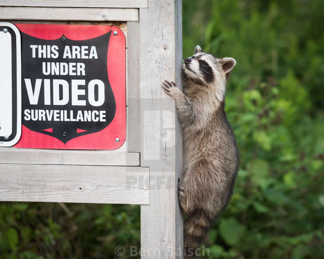 """""Masked Bandit"" Raccoon Doesn't Care About Security Cameras"" stock image"