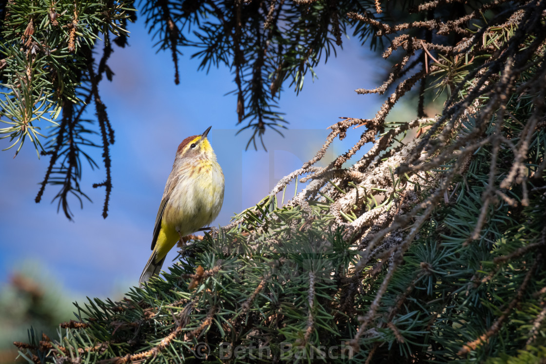 """""""Migrating Palm Warbler Foraging in Pine Tree"""" stock image"""