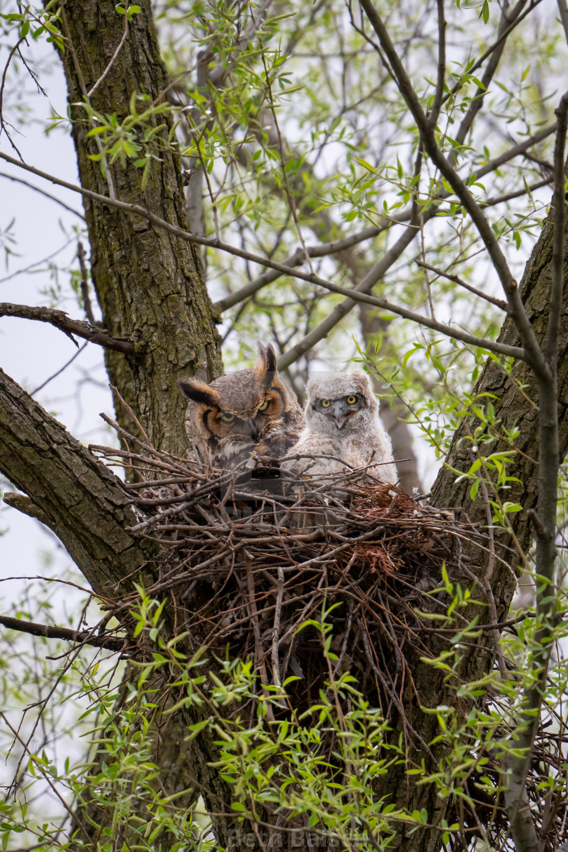 """""""Great Horned Owl with Owlet, Markham, Ontario"""" stock image"""