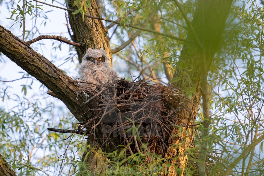 """Great Horned Owl Chick In Nest, Markham, Ontario"" stock image"
