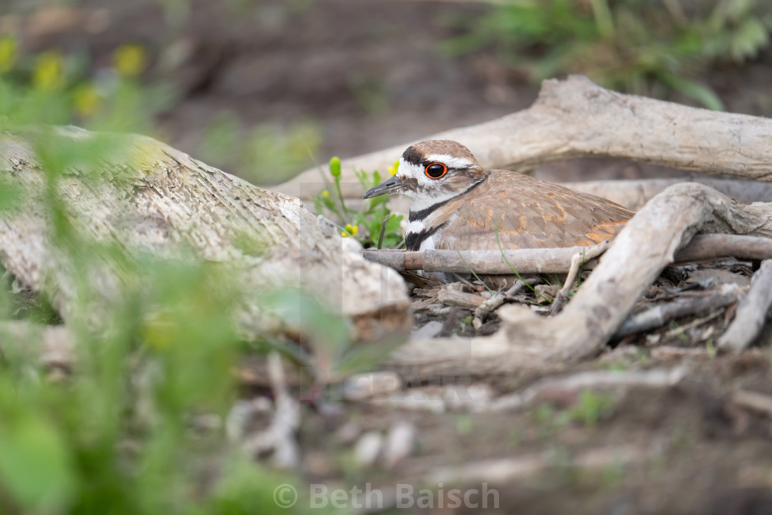 """Killdeer sitting on her nest, Oshawa, ON"" stock image"