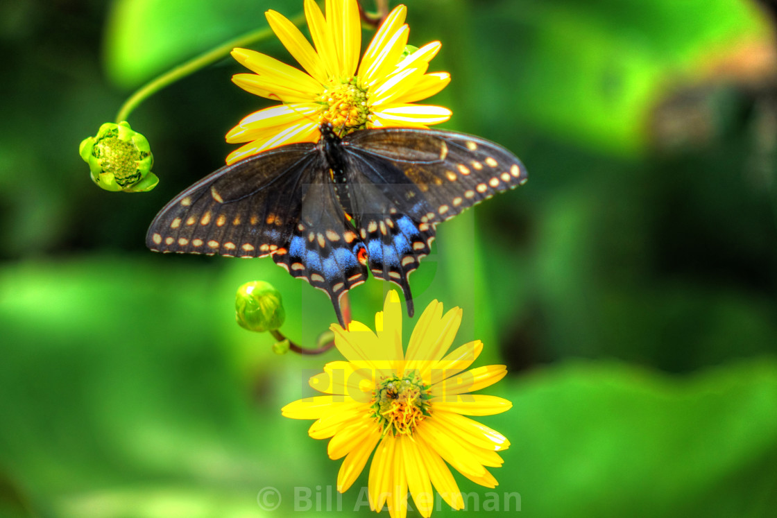 """Black Swallowtail Butterfly"" stock image"