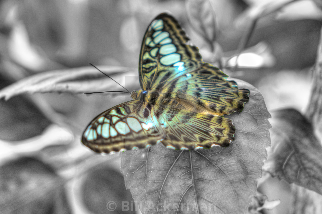 """""""Brown Clipper Butterfly"""" stock image"""