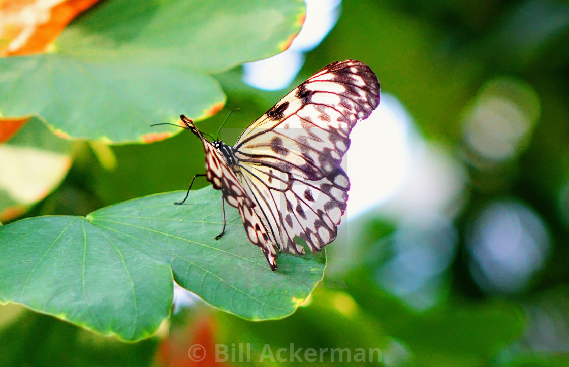 """Paper Kite Butterfly"" stock image"