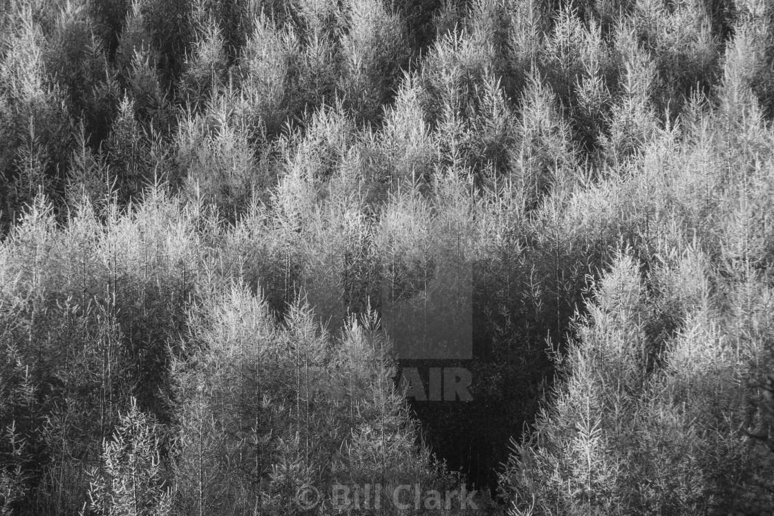 """""""Welsh Fir texture"""" stock image"""