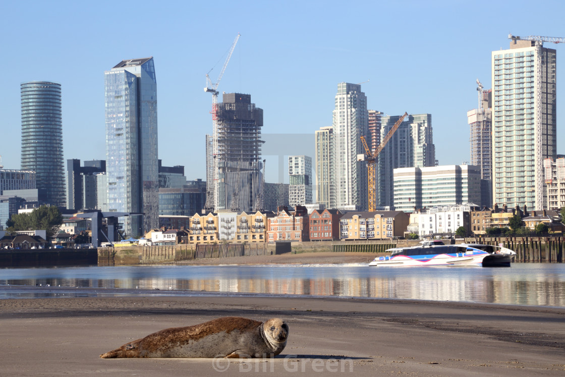 """""""Thames Seal and Thames Clipper"""" stock image"""