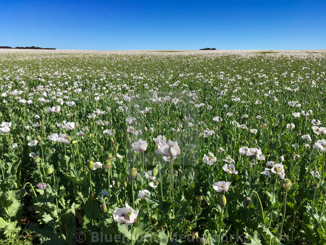 """Poppies as far as you can see - Table Cape, Tasmania"" stock image"
