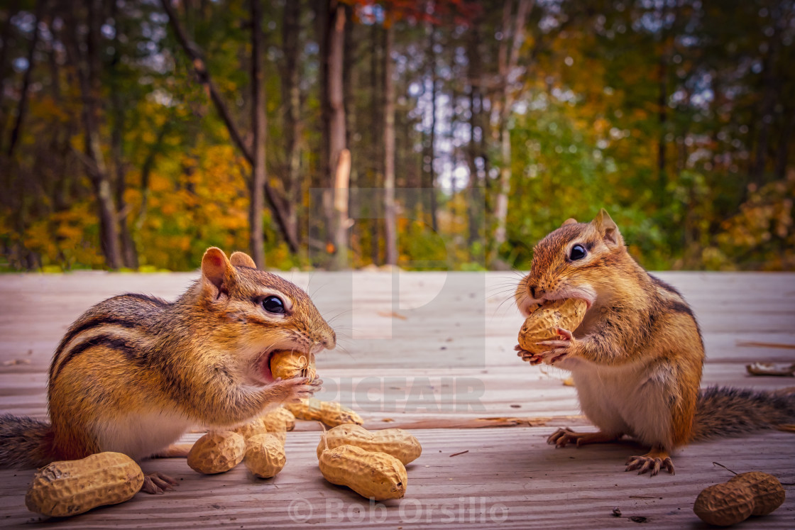 """""""Two lovable chipmunks stuffing peanuts in their cheeks"""" stock image"""