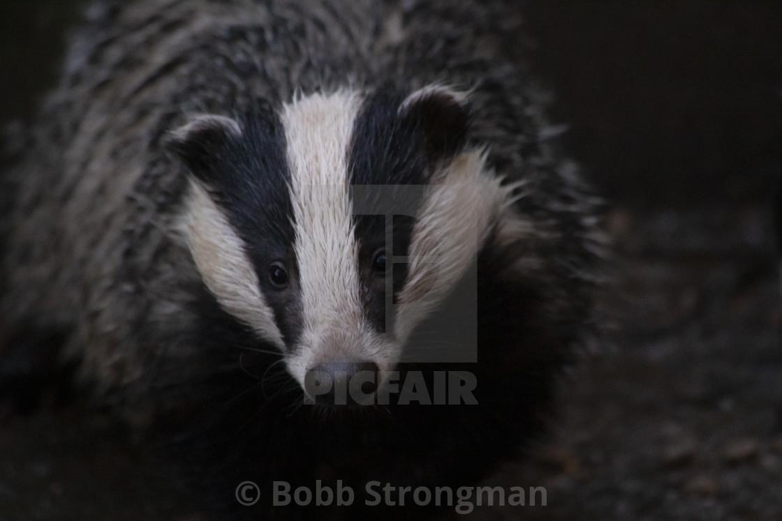 """European Badger"" stock image"