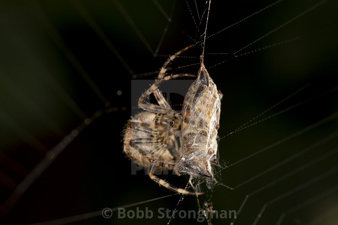 """""""European Garden Spider"""" stock image"""
