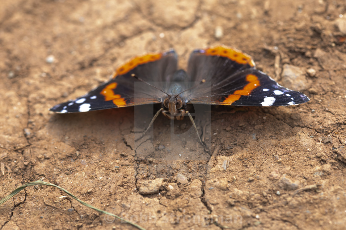 """Red Admiral Butterfly (Vanessa Atalanta)"" stock image"