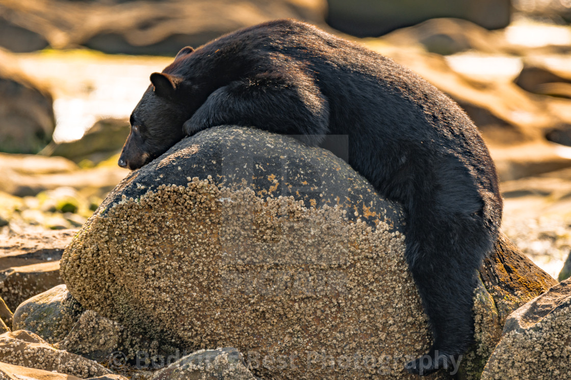 """The ""bear"" minimum effort..."" stock image"