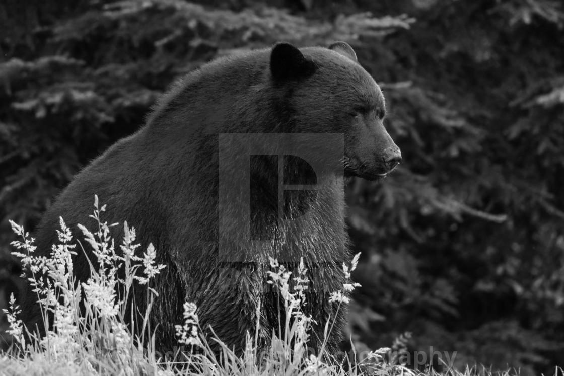 """A Morose Bear"" stock image"