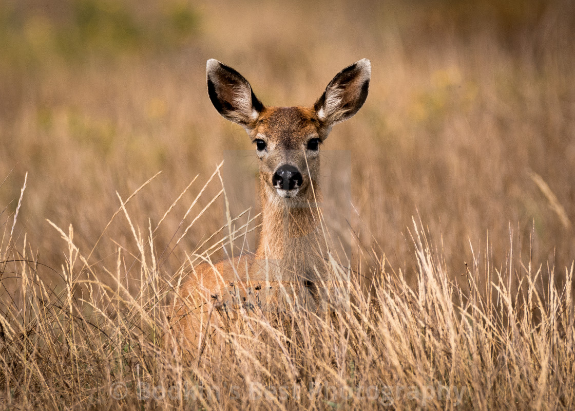"""A Fawn In The Grass"" stock image"
