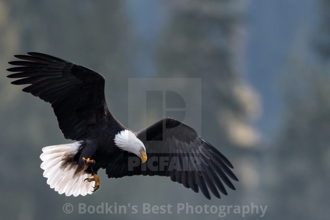 """""""An Eagle Getting Ready To Dive"""" stock image"""