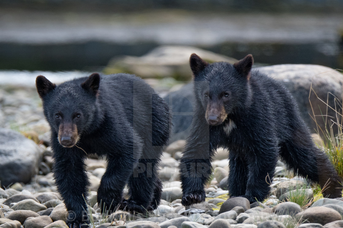 """""""Cubs"""" stock image"""