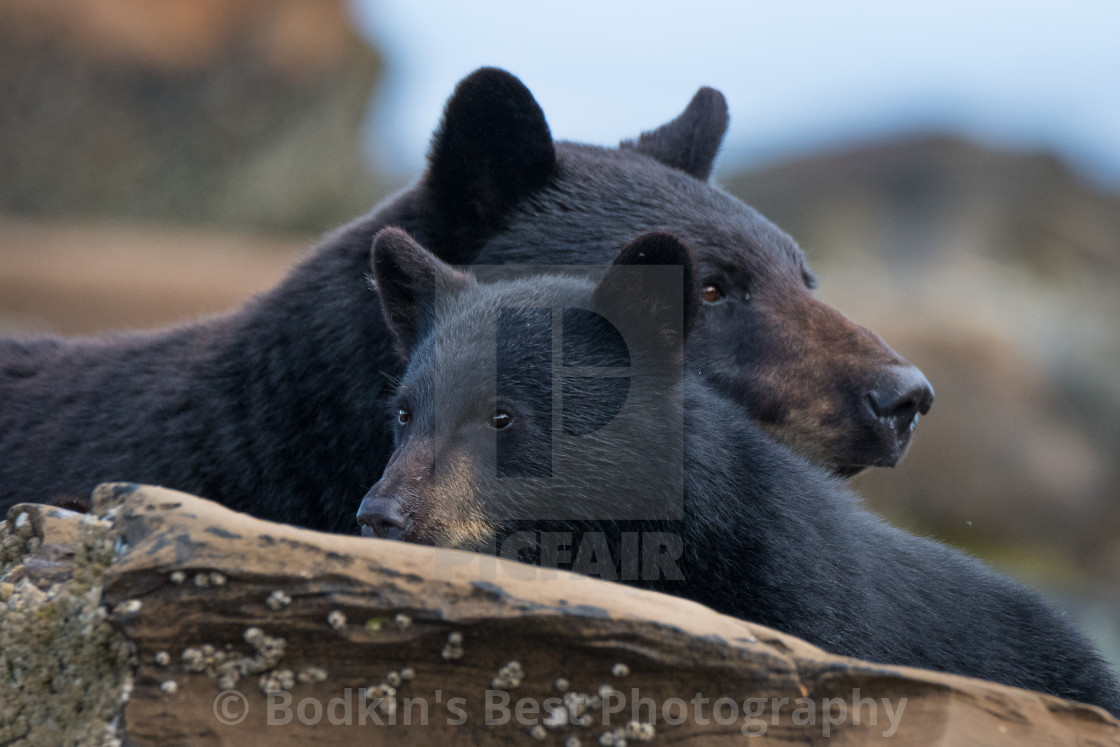 """""""Mom and Cub"""" stock image"""