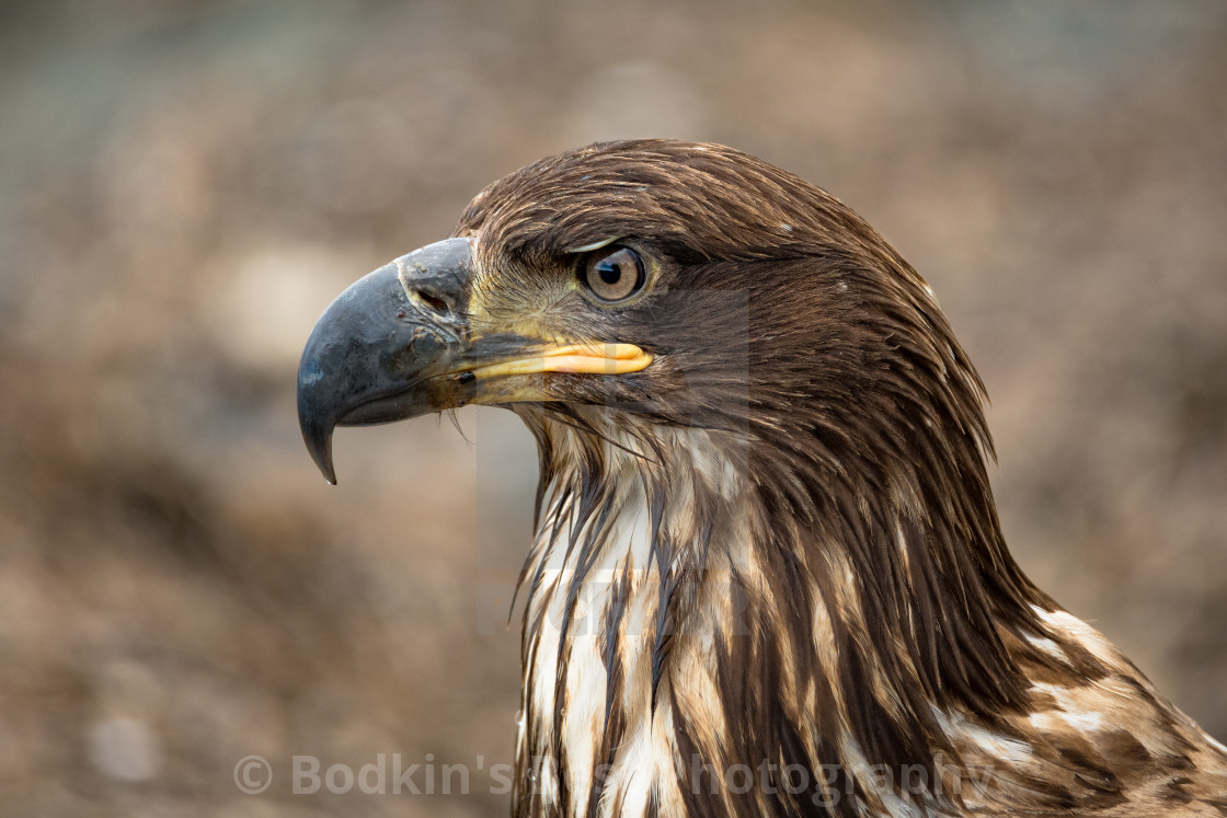 """Immature Eagle"" stock image"
