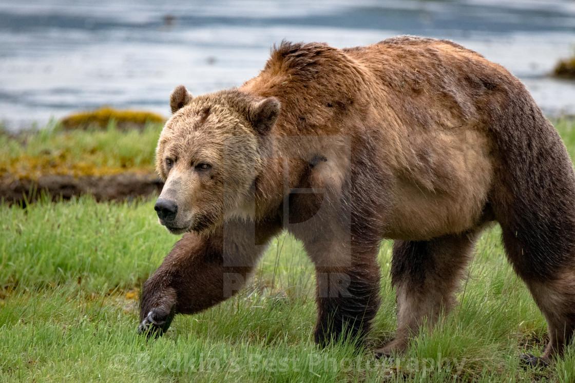 """""""Big Bear (He's Iron Tough)"""" stock image"""