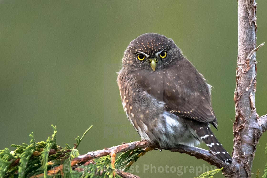 """Pygmy Owl"" stock image"