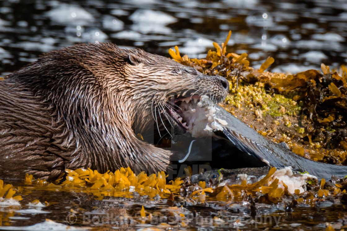 """""""Why I Otter"""" stock image"""