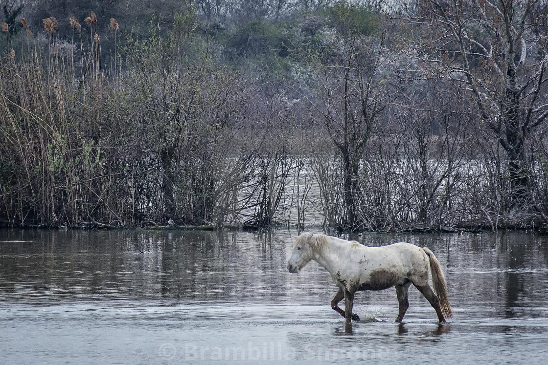 Camargue horse walks muddy in the water