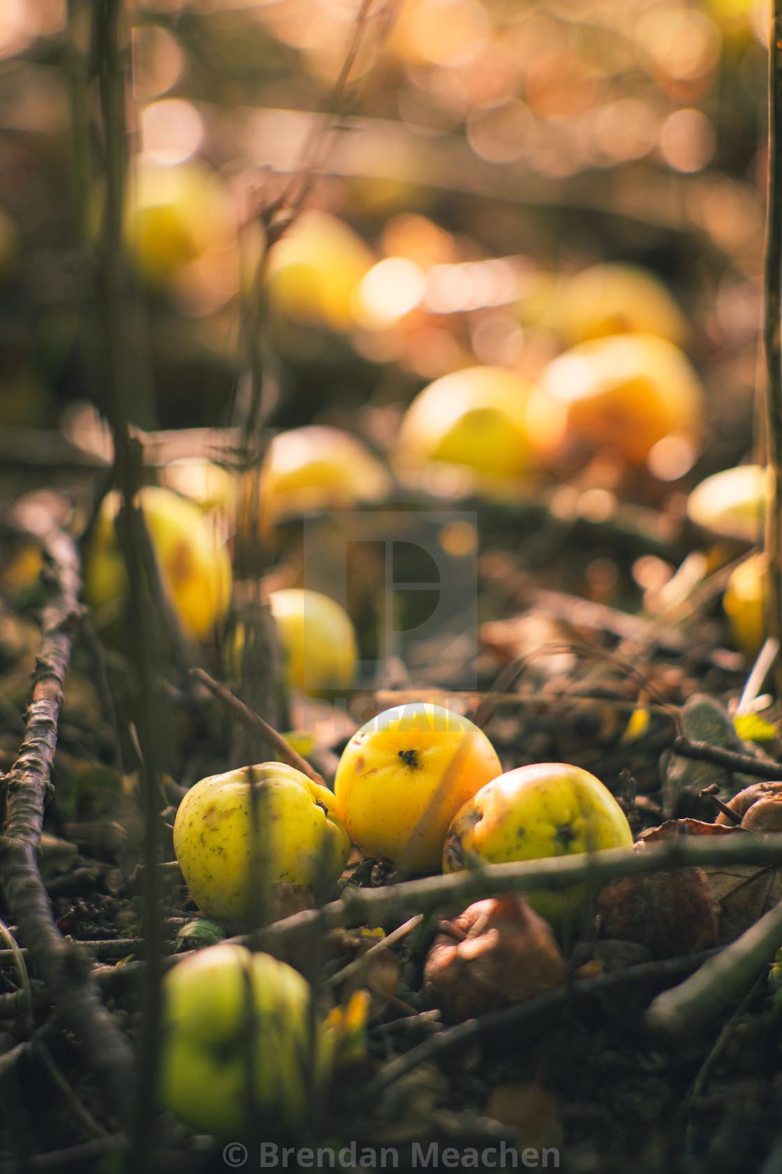 """Autumn Apples"" stock image"